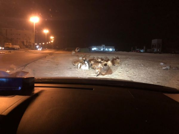 مُلاك الأبقار في ثلوث المنظر يتحدون قرارات بلدي #بارق والبلدية تكتفي بالوعود