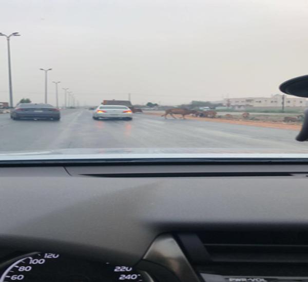 وسط بارق الأبقار تجوب الطرقات وسالكي الطريق اين قرارت بلدي المُحافظة