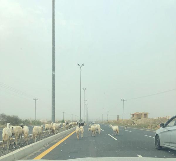 بالصور البهائم السائبة تتوسط طريق محايل #بارق