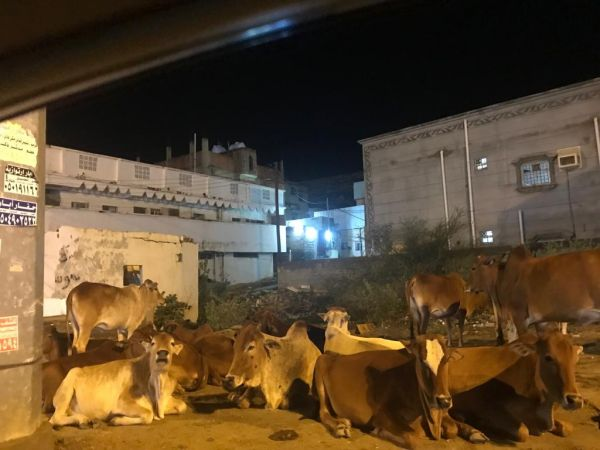 صور - الأبقار السائبة خطر يُهدد سالكي طرقات #بارق وثلوث المنظر
