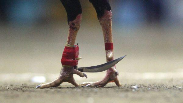 ديك يقتل صاحبة بنصل حاد خلال مصارعة الديوك في #الهند