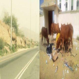 الجمال والأبقار السائبة تتربص بمرتادي طرق ثلوث المنظر وبارق