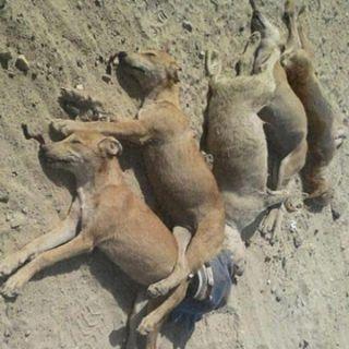 امانة #الحدود_الشمالية القضاء على 141 من الكلاب الضالة في #عرعر خلال شهر صفر