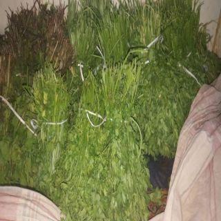 #أمانة_الحدود_الشمالية تُتلف أعشاب وخضروات ثبت تلوثها بمُبيد(Malathion  )