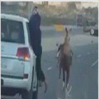 مرور عسير يستدعي قائد مركبة وصاحب حصان ظهر في مقطع فيديو مُخالف