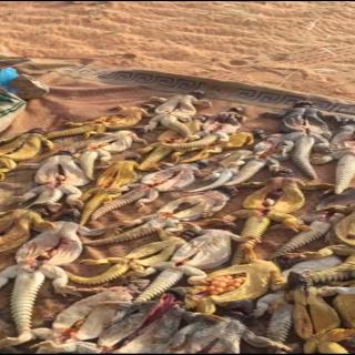 صاحب مقطع فيديو الصيد الجائر في قبضة شرطة القصيم