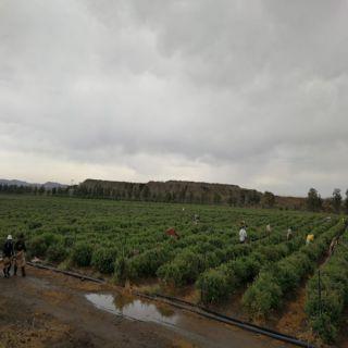 تعرف على جماليات أكبر مزرعة ورد في #أبها بـ40مليون ورده سنويا