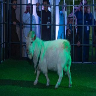 """زراعة #القصيم """"الماعز القزم"""" أصغر المشاركين في مهرجان الأغنام ببريدة"""