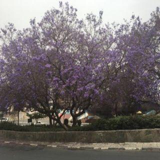 10 الاف شجرة جاكرندا تزين حدائق و طرقات ابها