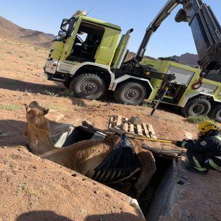 مدني #تبوك يُباشر بلاغ سقوط جمال سائبة في حفرة صرف صحي بمركز الزيتية