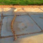 ثعبان يُثير الهلع في أحدى متنزهات عرعر