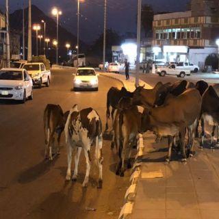 أهالي ثلوث المنظر لبلدية #بارق الأبقار السائبة خطر يُهدد سالكي الطرق