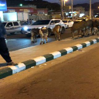 ظاهرة الأبقار السائبة في ثلوث المنظر تُزعج الأهالي و #أمانة_عسير تُرد