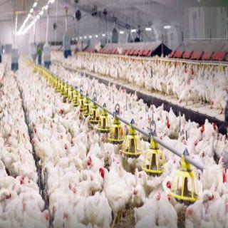 السعودية توقف إستيراد الدواجن من (11) مصنعًا في البرازيل