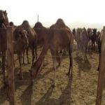 """""""امانة الرياض"""" حملة شاملة على أحواش الإبل العشوائية بعد 15يوم"""